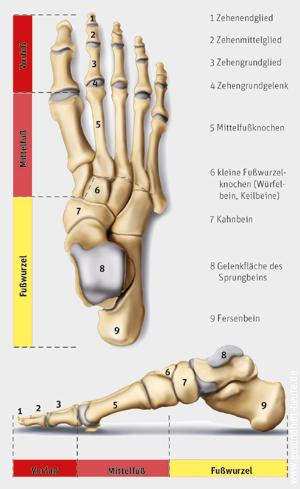Aufbau und Funktion von Sprunggelenk und Fuß - Neckar Apotheke ...